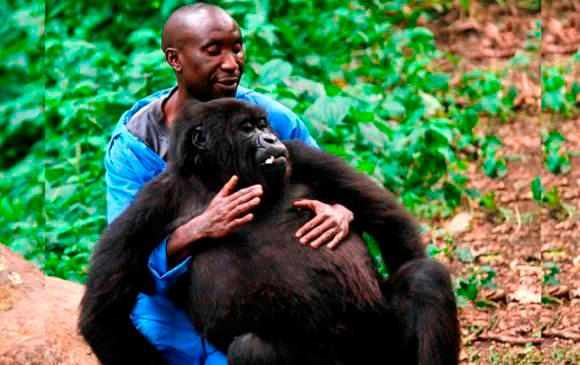"""Con gran pesar Virunga anuncia la muerte de la gorila de montaña huérfana Ndakasi, que residía en el centro de Senkwekwe desde hacía más de una década"" Foto: ONG Virunga"