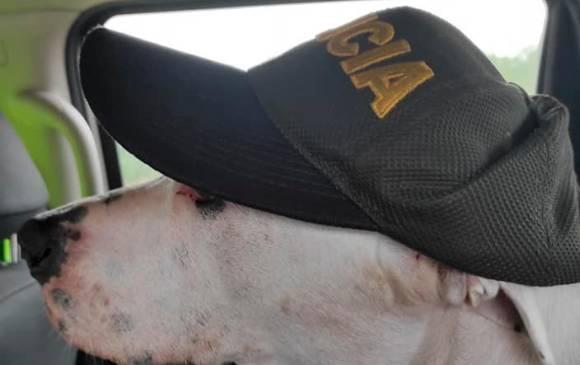 Beethoven posó con una gorra de la Policía. En Ginebra, Valle, los policías lo cuidaron hasta que retornó a Santa Bárbara. Foto: Cortesía.