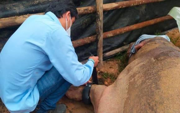 Con GPS rastrearán a hipopótamo de la hacienda de Pablo Escobar
