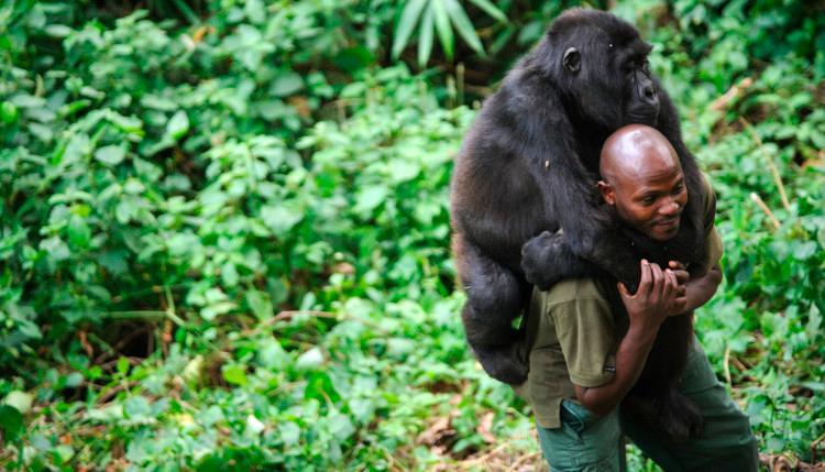 Ndakasi al lado de su cuidador y amigo de siempre, André Bauma compartían y se comunicaban con sonidos especiales. Foto: ONG Virunga.