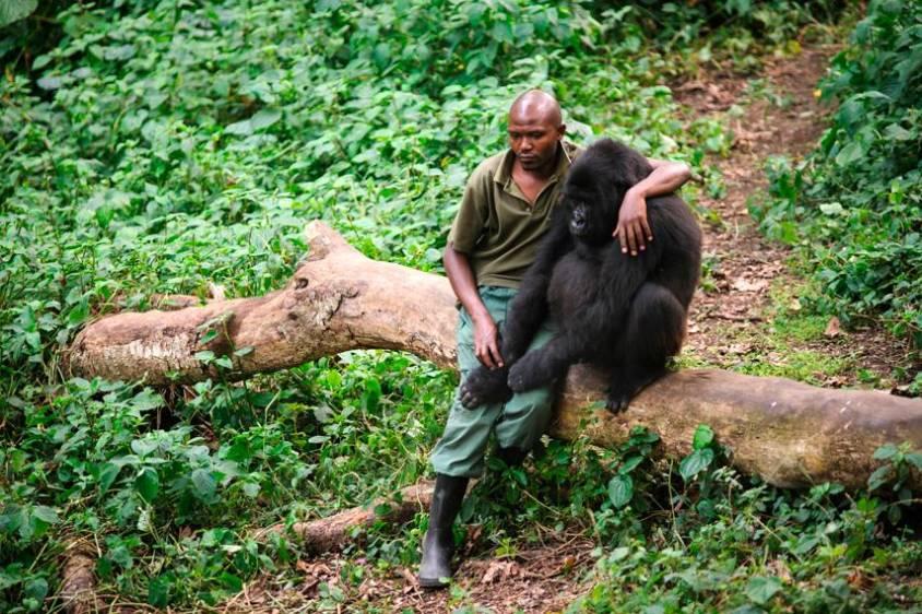 Ndakasi al lado de su cuidador y amigo de siempre, André Bauma compartian y se comunicaban con sonidos especiales. Foto: ONG Virunga