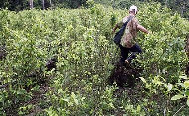 cultivos de coca en 3 bocanas frontera colombo ecuatoriana.foto manuel saldarriaga.