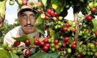 Luis Alfredo Osorio, retornó a su finca El Uvito, en Alejandría, para recuperar su cafetal y ponerlo a producir. FOTO donaldo zuluaga