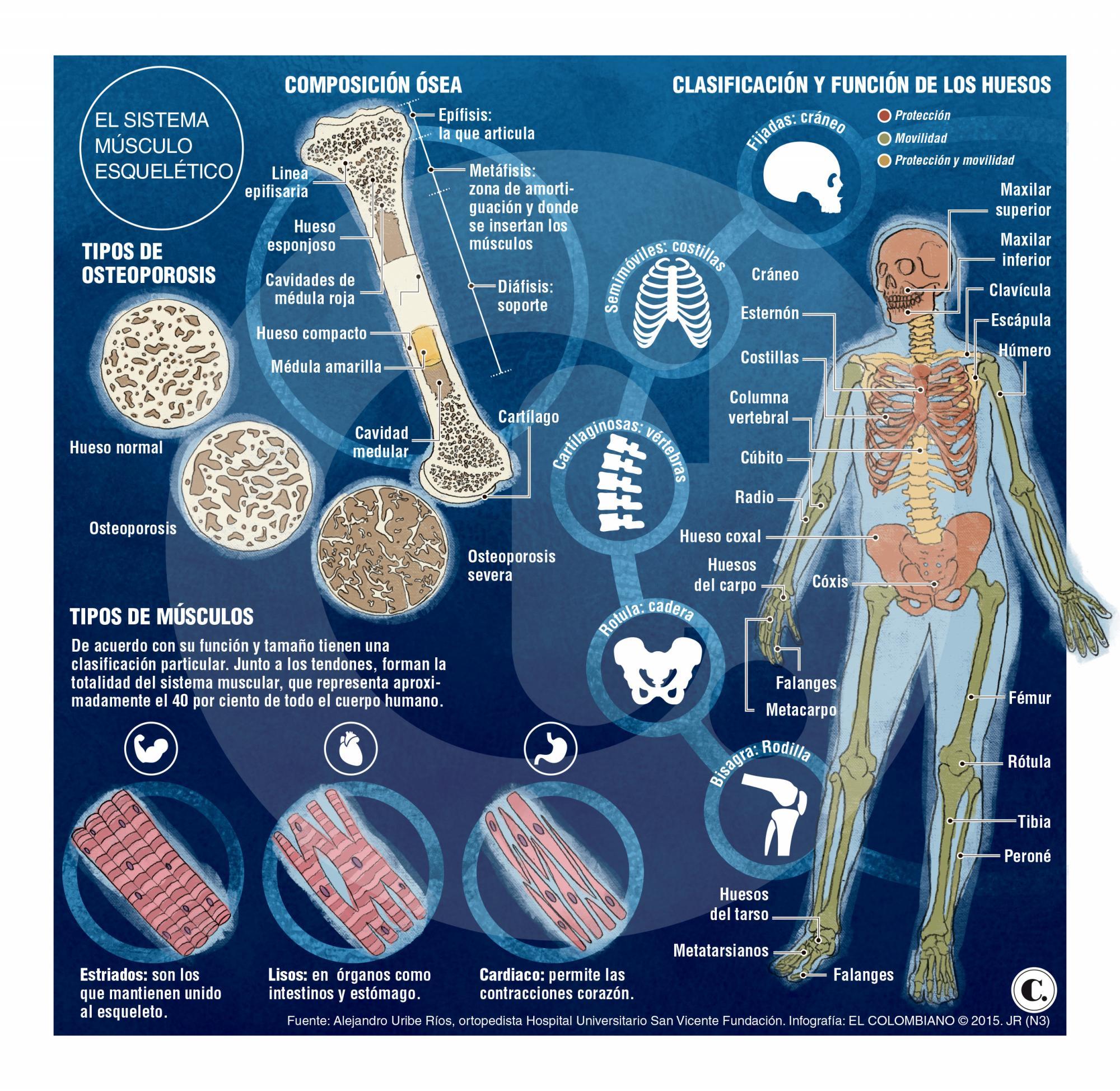Huesos y músculos, aliados en el movimiento del cuerpo