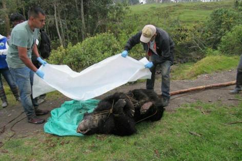 Cayó el hombre que mató un oso de anteojos en Fómeque ... - El Colombiano