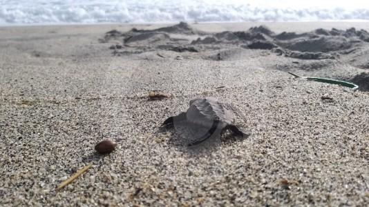 En el Parque Nacional Tayrona nacieron 105 tortugas caretta