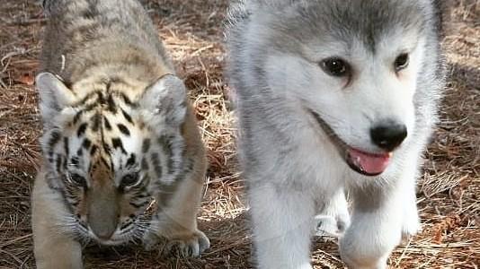Cachorros de león y de tigre en fotos: una preocupante moda