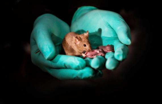 Primer ratón con dos madres y sin padre