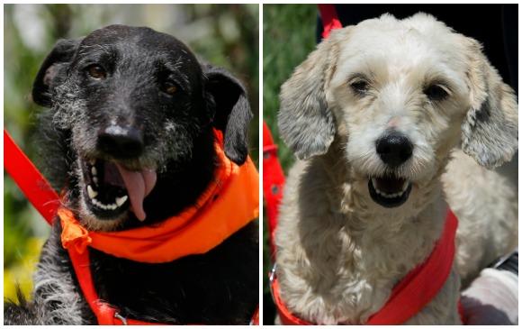 El Centro de Bienestar Animal La Perla es el albergue que más perros tiene en este momento en la ciudad, 1200 en total. En la imagen Barbas y Niña. FOTOS Donaldo zuluaga