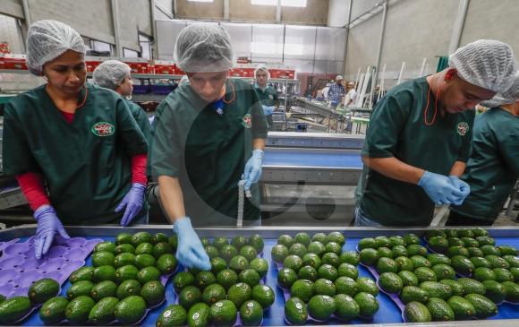En la planta de producción de Westfalia trabajan 100 personas. Demoran día y medio en preparar el contenedor hacia EE. UU., cuando uno para Europa lo alistan en 4 horas. FOTO Róbinson Sáenz