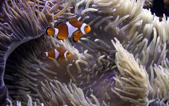 Estas son las anémonas que se blanquean por el efecto del calentamiento del mar. Allí se mantienen los peces payaso. FOTO Archivo EL COLOMBIANO