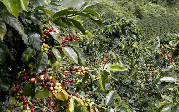 Producción cafetera aumentó 25% en julio