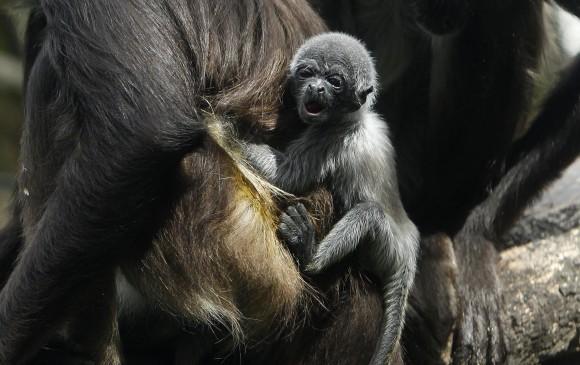 Con las reproducciones de animales silvestres, el zoológico Santa Fe busca aportar a los programas de conservación. FOTO EFE