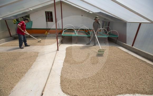 En Antioquia se contabilizan 79.529 familias cafeteras que tienen 123.281 hectáreas de cafetales. FOTO Manuel Saldarriaga