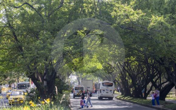 El túnel que forman los árboles que han crecido en 40 años en la avenida 43A es un patrimonio que valoran los habitantes de Envigado. FOTO juan antonio sánchez