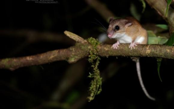 Ratón arborícola del género Nyctomys, una de las 14 especies nuevas halladas en Anorí. Foto cortesía Expedición Colombia Bio