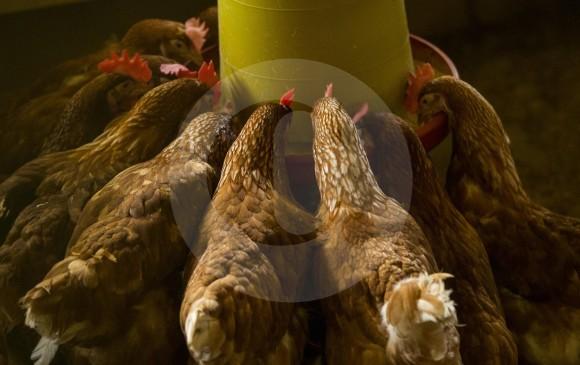 En los departamentos de Valle y Atlántico han ocurrido los más recientes ataques contra el sector avícola. FOTO: EL COLOMBIANO.