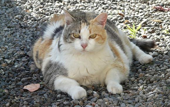 Diabetes y problemas osteoarticulares, entre los males que genera la obesidad en gatos. Foto U. Nacional