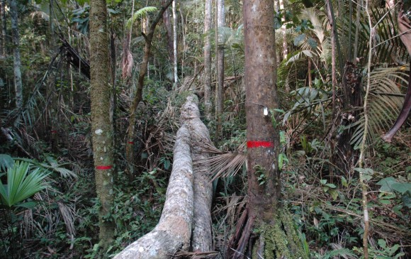 Este año van 12.500 incendios en la Amazonia, el tercer peor registro desde 2003. Acá, árbol caído en una parcela. FOTO Rainfor