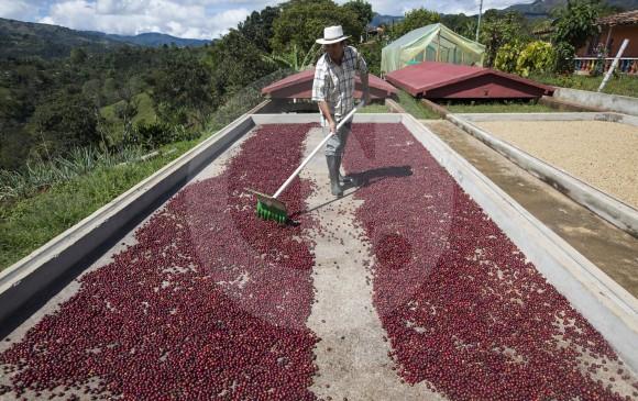La economía 560 municipios colombianos y el sustento de 2,3 millones de personas dependen de la caficultura. Foto: Manuel Saldarriaga.