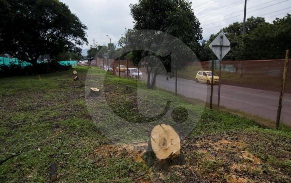 Según el Área Metropolitana, las talas bajaron de 743 autorizadas a 475 en la vía distribuidora. FOTO: JULIO CÉSAR HERRERA