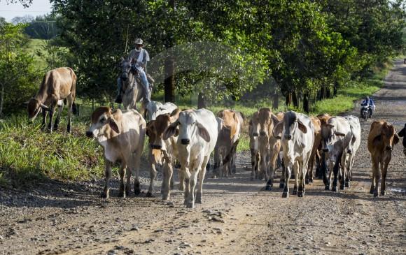 La ganadería intensiva industrial tiene importantes efectos sociales y medioambientales. FOTO Julio Herrera