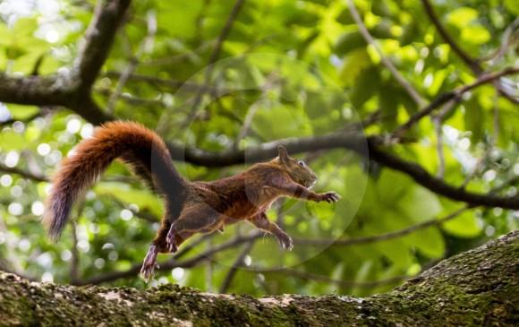 Las ardillas también se pasean a sus anchas por las calles de la ciudad, para luego brincar de un árbol a otro.