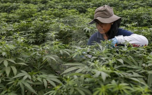 La empresa PharmaCielo, ubicada en el Oriente antioqueño, ha solicitado ante el ICA el registro de 20 cepas de cannabis, proceso que está en curso y del que espera aprobación. FOTO Santiago Mesa