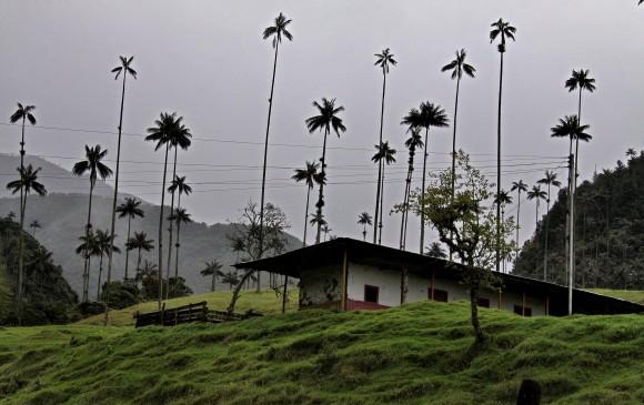 La palma de cera domina el paisaje del valle del Cocora, aunque ha perdido presencia. Es de lento crecimiento. FOTO Archivo