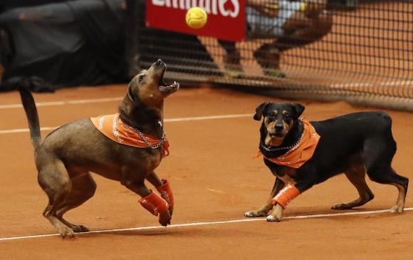 Perros entrenados para recoger las bolas de tenis participaron en un evento de exhibición con el objetivo de promover la adopción de animales callejeros. FOTO EFE/Sebastião Moreira