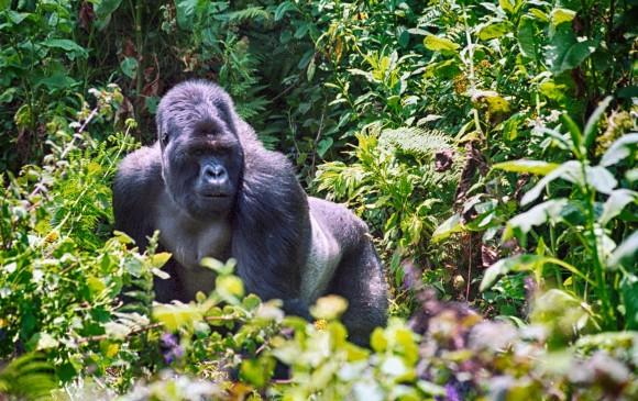 Pasar un día con gorilas en Ruanda hace parte del turismo de lujo que crece en este 2018. Vale $5.000.000 por persona. FOTO sstock