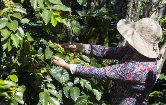 ECONÓMICA - Producción de café sigue en caída