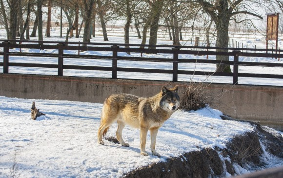 Francia Autoriza Matar Hasta 40 Lobos Al Año Eso Qué Significa