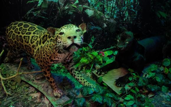 Jaguar / Pantera - s.f. Animal naturalizado. Sala de larga duración - Montaje Biodiversidad animal y diorama de mamíferos