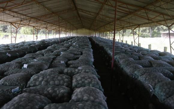 Colombia ocupa el puesto n�mero 36 entre 183 pa�ses productores de papa en el mundo, y se estima que se cultivan unas 60 variedades del tub�rculo. FOTO colprensa