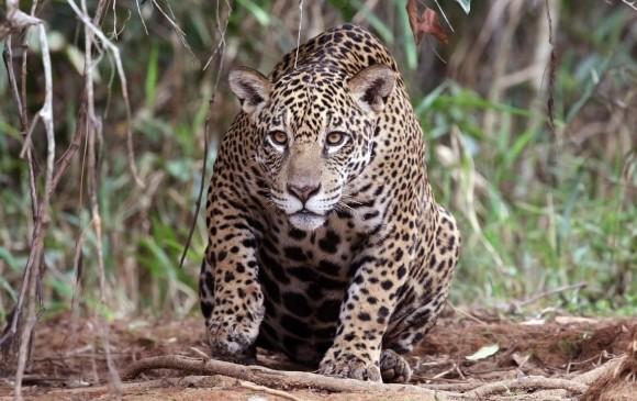 qué hacer para salvar el jaguar en el país?