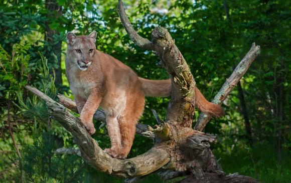 El puma concolor, en la escala, es el segundo felino más grande de América luego del jaguar. Fue detectado en Cimitarra (Santander) y es el máximo indicio de que el jaguar ronda.FOTO cortesía isa