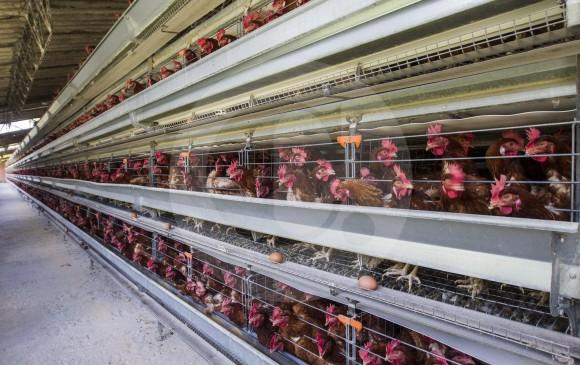 El año pasado el país produjo 1,73 millones de toneladas de pollo, un 2,6 % más que las 1,68 millones de toneladas producidas durante el 2016, según cifras del Dane. FOTO Jaime Pérez