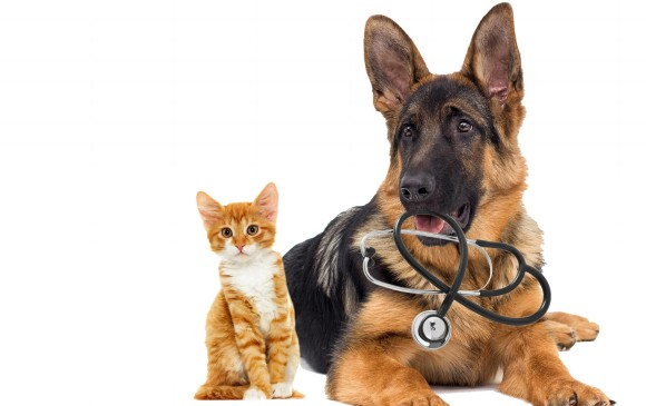 Después de los siete años las visitas al médico veterinario deben hacerse con más frecuencia e incluir exámenes y ecografías que permitan diagnosticar a tiempo las afecciones. FOTO sstock