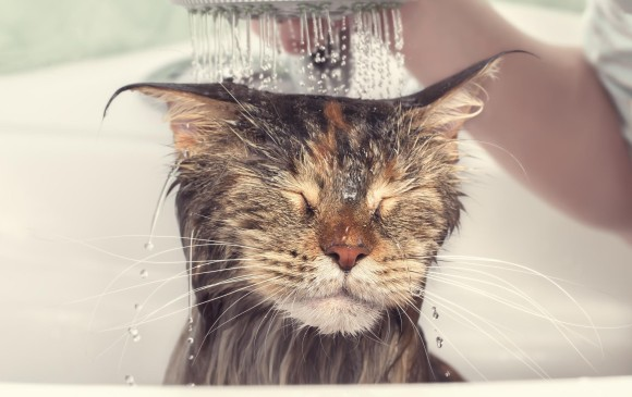 Dicen los especialistas que los gatos no necesitan baños cosméticos. Otros  aseguran que se pueden cad280e142c2