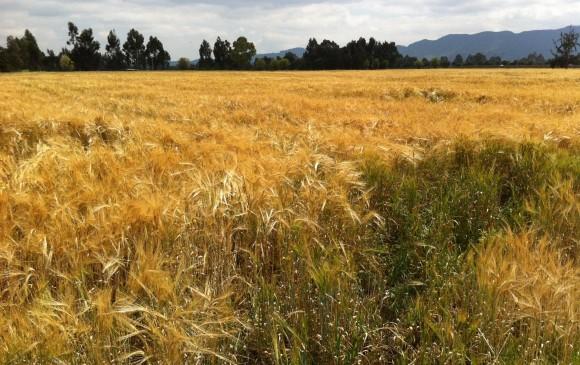 Bavaria comenzará a producir cerveza a partir de cebada sembrada en Colombia