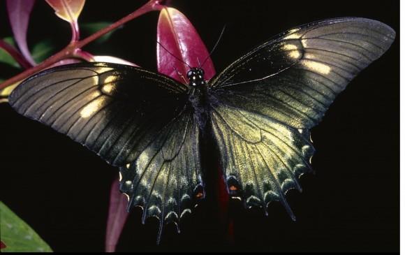 Mariposa Heraclides androgeus epidaurus, descrita en1890. Otra de las bellezas del libro. FOTO Cortesía Villegas Editores