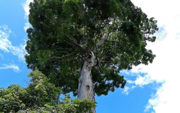 Árbol de la selva atlántica en Brasil, Dinizia jueirana-facao, mide hasta 40 metros y pesa unas 62 toneladas. Apenas quedan unos 25 individuos. Foto Iise