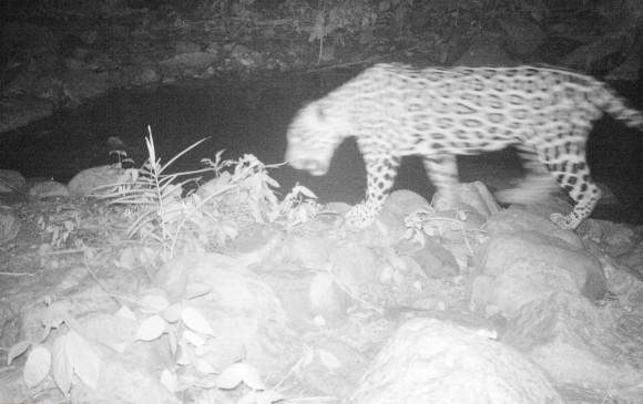 Cámaras trampa logran registro de varios jaguares