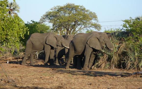 Trump autoriza importación de trofeos de caza de elefantes abatidos en África
