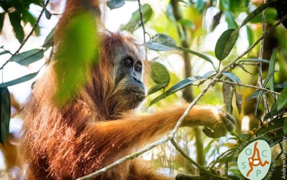 Orangután tapanuli (Pongo tapanuliensis) de Sumatra. Solo quedan unos 800 individuos en un área de unos 1.000 kilómetros cuadrados. Foto Iise