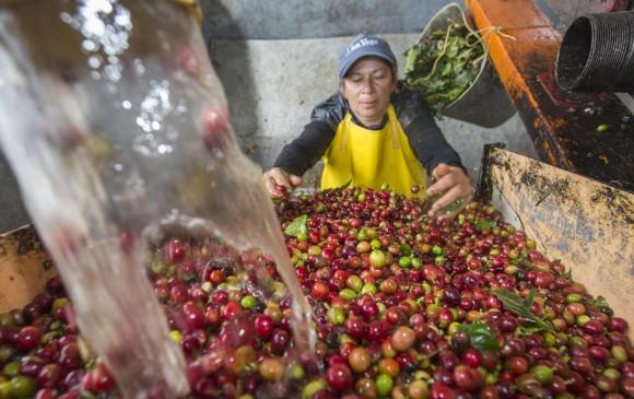 En el primer bimestre de este año, la producción de café fue de 2,34 millones de sacos, 9 % menos que en el primer bimestre de 2016. Foto: El Colombiano.