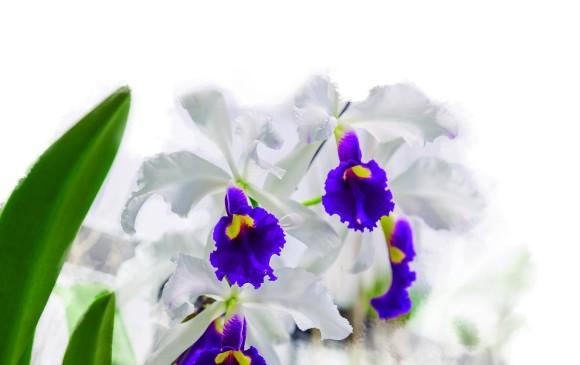A ver la orquídea antioqueña
