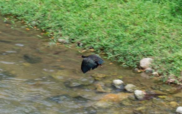 El corredor biológico es hábitat de aves como el ibis negro o coquito. Fotos CORTESÍA COLECTIVO TÚNEL VERDE