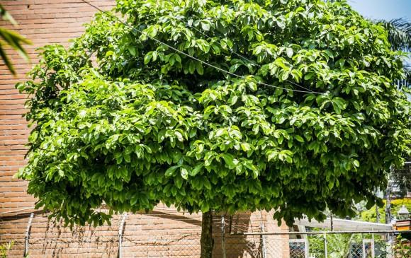 Peros de agua rboles sin peros en el pulm n de la urbe for Arboles que no pierden sus hojas en otono